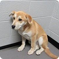 Adopt A Pet :: Chloe Sweet Baby Lab Mix - North Creek, NY