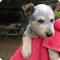 Adopt A Pet :: Normani - Wharton, TX