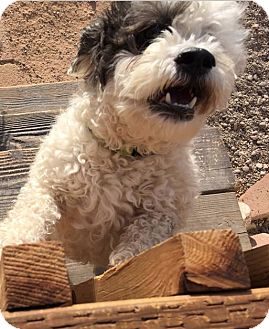 Lhasa Apso/Shih Tzu Mix Dog for adoption in Apache Junction, Arizona - Mr. Kringle