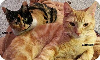 Domestic Shorthair Cat for adoption in Portland, Oregon - Garfield