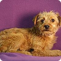 Adopt A Pet :: Clicquot - Broomfield, CO