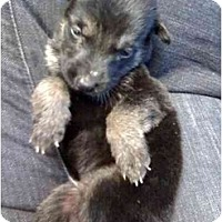 Adopt A Pet :: PADDINGTON BEAR - Fowler, CA