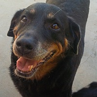 Rottweiler/Labrador Retriever Mix Dog for adoption in San Diego/Imperial Beach, California - Emma the Mini Mutt