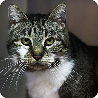 Domestic Shorthair Cat for adoption in Stockton, California - Bessie