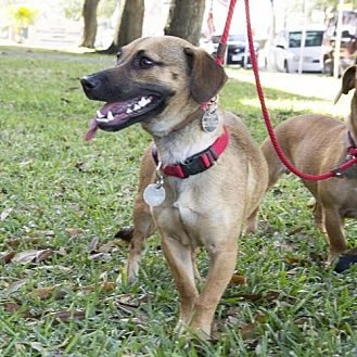 Dachshund Mix Dog for adoption in Houston, Texas - Adam