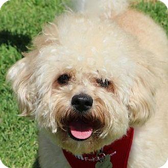 Havanese Mix Dog for adoption in La Costa, California - Boomer