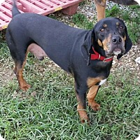 Adopt A Pet :: Bentley - Medora, IN