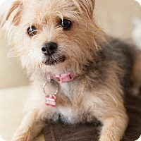 Australian Terrier Mix Dog for adoption in Encino, California - Dahlia