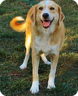Golden Retriever/Collie Mix Dog for adoption in Melbourne, Arkansas - Wendy