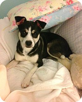Terrier (Unknown Type, Small)/Chihuahua Mix Dog for adoption in Media, Pennsylvania - TINY TINKER BELL