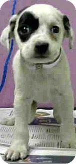 Australian Shepherd/Border Collie Mix Puppy for adoption in Boulder, Colorado - Paris-ADOPTION PENDING