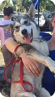 Siberian Husky/German Shepherd Dog Mix Puppy for adoption in Yucca Valley, California - EEYORE