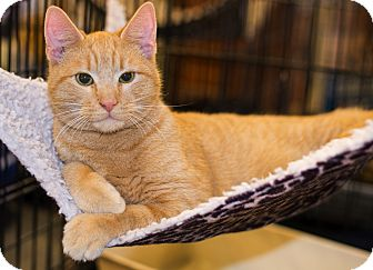 Domestic Shorthair Kitten for adoption in Charlotte, North Carolina - A..  Cheddar