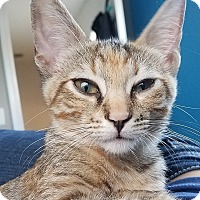 Domestic Shorthair Kitten for adoption in Tampa, Florida - Lorann