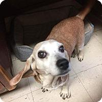 Adopt A Pet :: Rosie - Breinigsville, PA