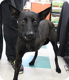 Bernese Mountain Dog/Labrador Retriever Mix Dog for adoption in Seattle, Washington - Sean Ming