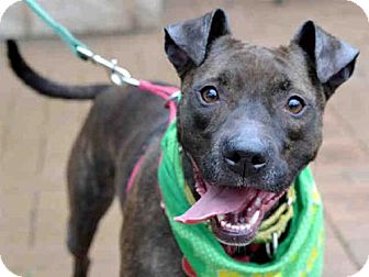 American Pit Bull Terrier Mix Dog for adoption in Pittsburgh, Pennsylvania - CLEO