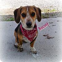 Adopt A Pet :: BISCUIT - Princeton, KY