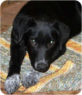 Australian Cattle Dog/Labrador Retriever Mix Puppy for adoption in Glenpool, Oklahoma - Phoenix