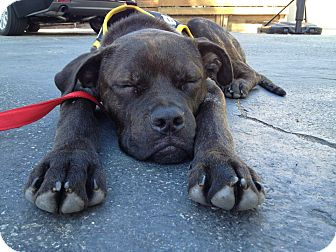 Mastiff/Boxer Mix Puppy for adoption in Los Angeles, California - Barnaby
