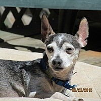 Chihuahua/Miniature Pinscher Mix Dog for adoption in Wapwallopen, Pennsylvania - Snoopy - 12 1/2