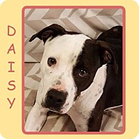 Adopt A Pet :: DAISY BASIC OBEDIENCE TRAINED - Dallas, NC