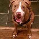 Adopt A Pet :: Bella - Denton, TX