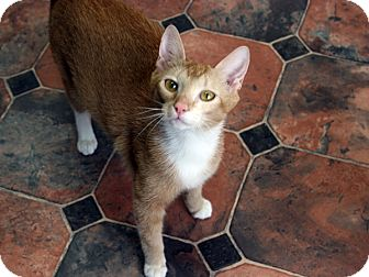 Domestic Shorthair Cat for adoption in Republic, Washington - Brier