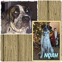 Adopt A Pet :: Noah - Fort Wayne, IN