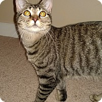 Domestic Shorthair Cat for adoption in Richmond, Virginia - Tami