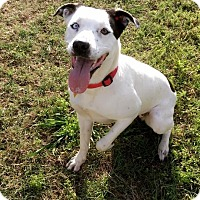 Pointer/Dalmatian Mix Dog for adoption in Dallas, Texas - Sassy