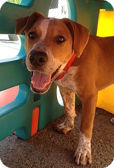 Beagle/Setter (Unknown Type) Mix Dog for adoption in Richmond, Virginia - Griffin