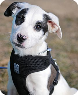 Collie/Terrier (Unknown Type, Medium) Mix Puppy for adoption in Mt. Prospect, Illinois - Carter