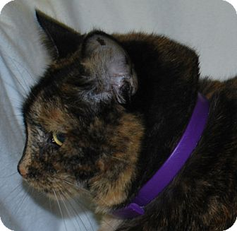 Domestic Shorthair Cat for adoption in Lexington, Kentucky - Cinnamon aka Ginger