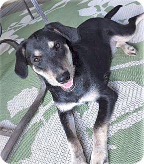 German Shepherd Dog/Labrador Retriever Mix Dog for adoption in Saratoga Springs, New York - Nina ~ ADOPTED!