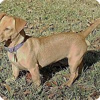 Adopt A Pet :: Minnie ~ DOB 5/01/16! - Saratoga Springs, NY