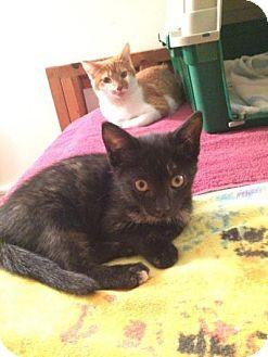 Domestic Shorthair Kitten for adoption in Breinigsville, Pennsylvania - Liv