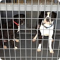 Adopt A Pet :: Bacall - Austin, TX