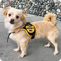 Pomeranian Mix Dog for adoption in Gig Harbor, Washington - Zoe - Adoption Pending