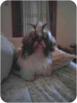 Shih Tzu Puppy for adoption in Berlin, Wisconsin - Cricket