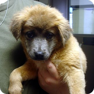 Australian Shepherd/Border Collie Mix Puppy for adoption in Greencastle, North Carolina - Phyllis