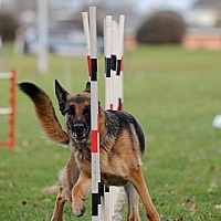 German Shepherd Dog Dog for adoption in Woodinville, Washington - DONATIONS: AGILITY EQUIPMENT
