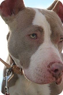 American Pit Bull Terrier Mix Dog for adoption in Las Vegas, Nevada - Destiny