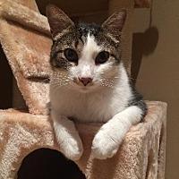Domestic Shorthair Cat for adoption in St. Louis, Missouri - Hugo
