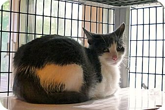 Domestic Shorthair Cat for adoption in Victor, New York - Jennie