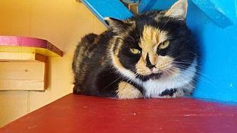Domestic Shorthair Cat for adoption in Dahlonega, Georgia - Chloe
