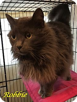 Domestic Longhair Cat for adoption in Chisholm, Minnesota - Robbie