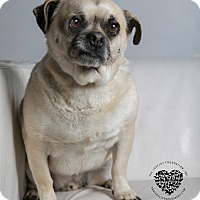 Pug/Terrier (Unknown Type, Small) Mix Dog for adoption in Inglewood, California - Mala