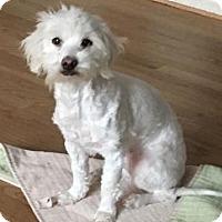 Adopt A Pet :: Iris BB - Seattle, WA