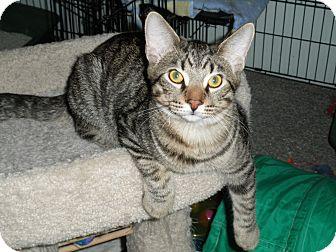 Domestic Shorthair Kitten for adoption in Milwaukee, Wisconsin - Gomer